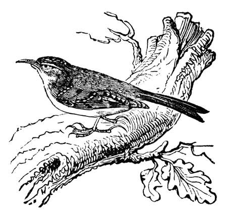 restored: Victorian engraving of a creeper bird. Digitally restored image from a mid-19th century Encyclopaedia. Stock Photo