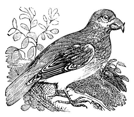 zoology: Victorian engraving of a crossbill bird. Digitally restored image from a mid-19th century Encyclopaedia. Stock Photo