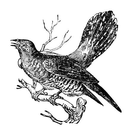 Victorian engraving of a cuckoo. Digitally restored image from a mid-19th century Encyclopaedia. Stock Photo