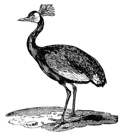Gravure victorienne d'une grue couronnée. image restaurée numérique à partir d'un milieu du 19e siècle Encyclopédie. Banque d'images - 42490404