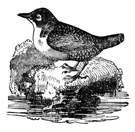 dipper: Victorian engraving of a dipper bird or ousel. Digitally restored image from a mid-19th century Encyclopaedia.