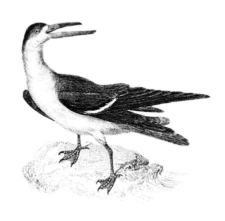restored: Victorian engraving of a black skimmer bird. Digitally restored image from a mid-19th century Encyclopaedia.