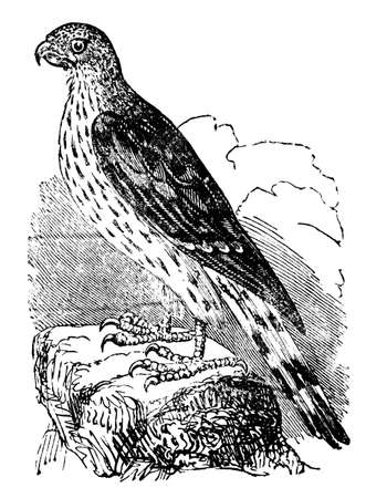 restored: Victorian engraving of a falcon. Digitally restored image from a mid-19th century Encyclopaedia.