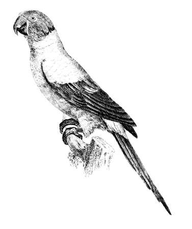 Victorian engraving of a cowbird. Digitally restored image from a mid-19th century Encyclopaedia.