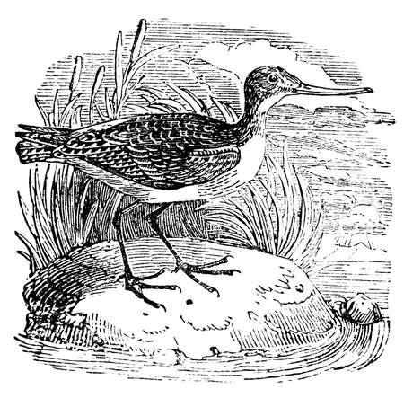 restored: Victorian engraving of a godwit. Digitally restored image from a mid-19th century Encyclopaedia.