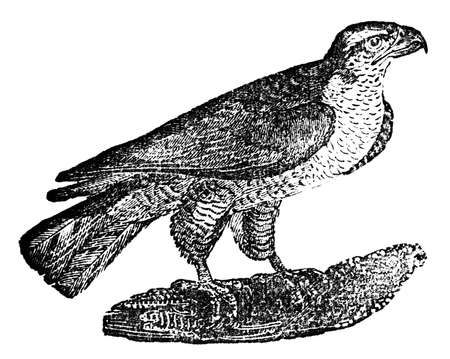 goshawk: Victorian engraving of a goshawk. Digitally restored image from a mid-19th century Encyclopaedia.