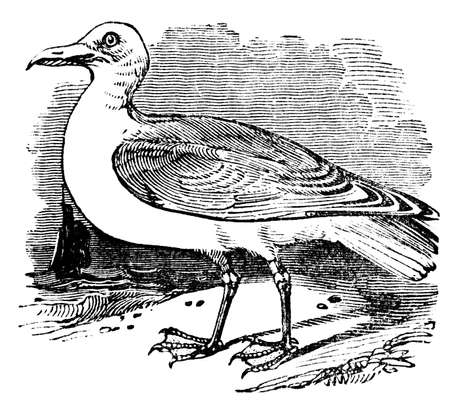 gull: Victorian engraving of a herring gull. Digitally restored image from a mid-19th century Encyclopaedia.