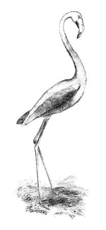 restored: Victorian engraving of a flamingo. Digitally restored image from a mid-19th century Encyclopaedia.
