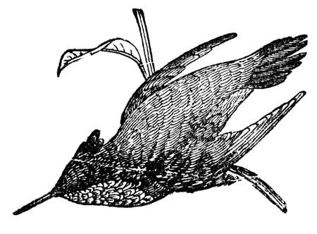 Victorian engraving of a hummingbird. Digitally restored image from a mid-19th century Encyclopaedia.