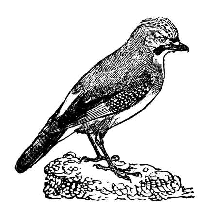 jay: Victorian engraving of a jay bird. Digitally restored image from a mid-19th century Encyclopaedia.