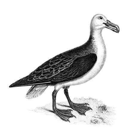 Victorian engraving of a gull. Digitally restored image from a mid-19th century Encyclopaedia.