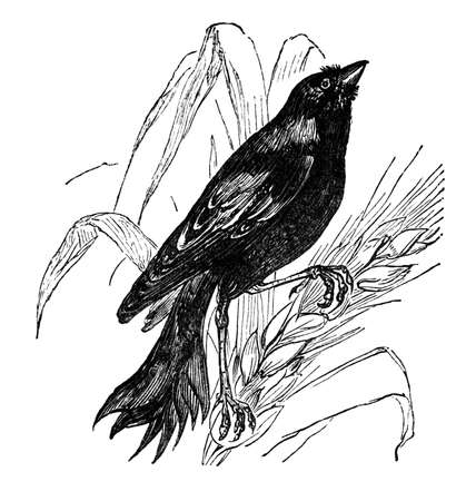 19th century engraving of a starling, the bob-o-link