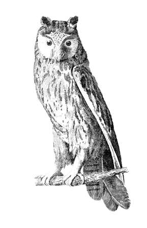 owl illustration: Victorian engraving of a long-eared owl. Digitally restored image from a mid-19th century Encyclopaedia.