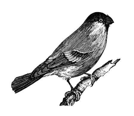 bullfinch: 19th century engraving of a bullfinch