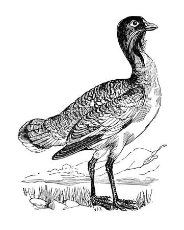 19th century engraving of a bustard
