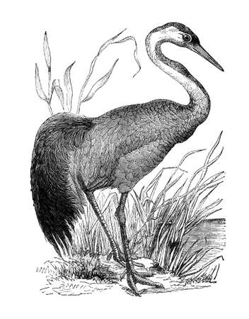 19th century engraving of a crane Banco de Imagens