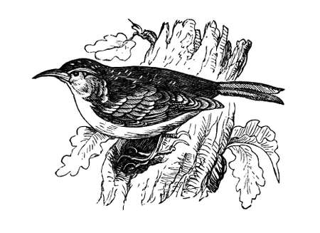 19th century engraving of a treecreeper Stock fotó