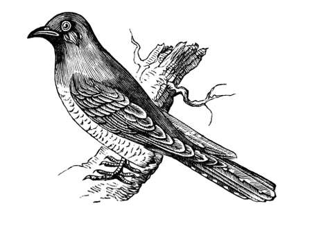 19th century engraving of a cuckoo Stock Photo