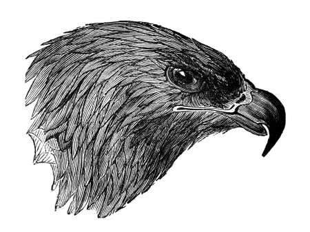 aquila reale: 19th century engraving of a golden eagle