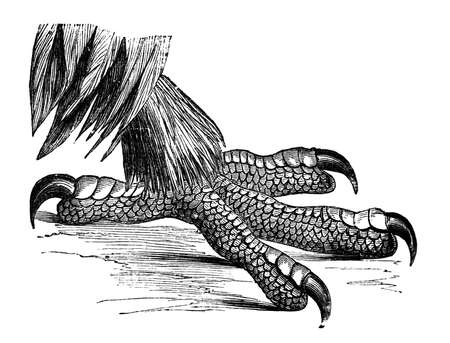 aguila real: Grabado del siglo 19 de una garra de águila real