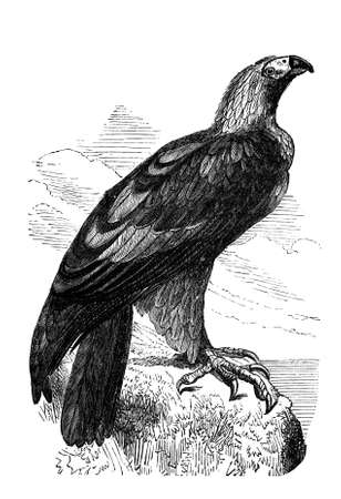 imperial: 19th century engraving of an imperial eagle