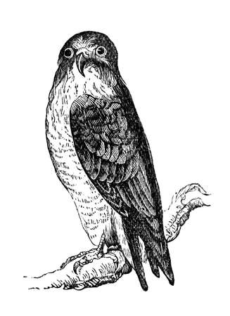 19th century engraving of a peregrine falcon