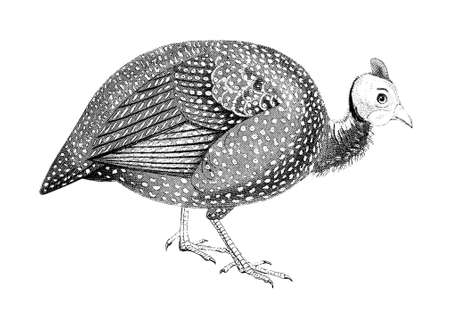 19th century engraving of a guinea fowl