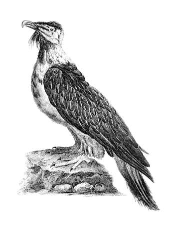 restored: Victorian engraving of a bearder eagle. Digitally restored image from a mid-19th century Encyclopaedia.