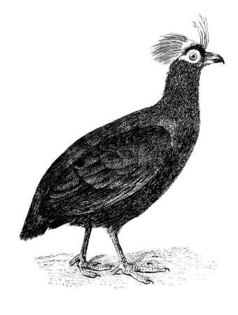 kuropatwa: 19th century engraving of a partridge Zdjęcie Seryjne