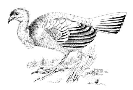 19th century engraving of a brush turkey Stock Photo
