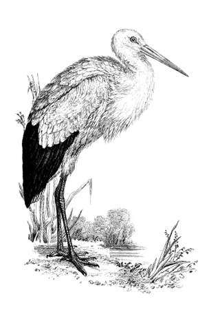 19th century engraving of a stork