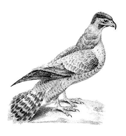 Victorian engraving of a falcon. Digitally restored image from a mid-19th century Encyclopaedia.
