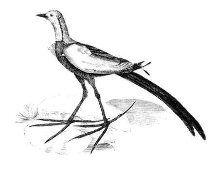 19th: 19th century engraving of a Chinese Jacana