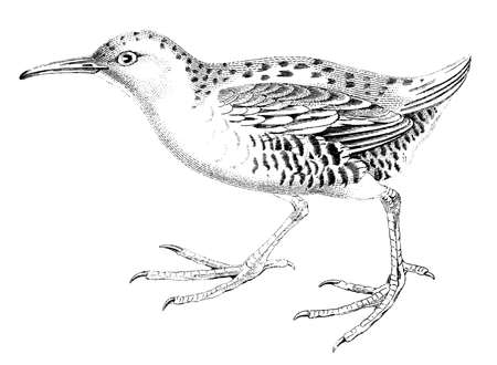 19th century engraving of a water rail Фото со стока