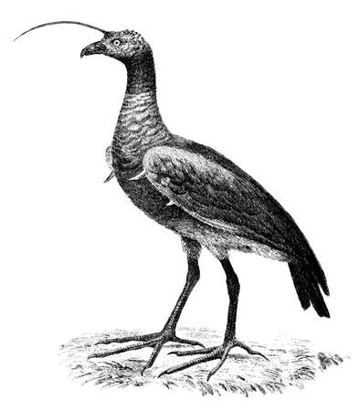 19th century engraving of a Horned Screamer