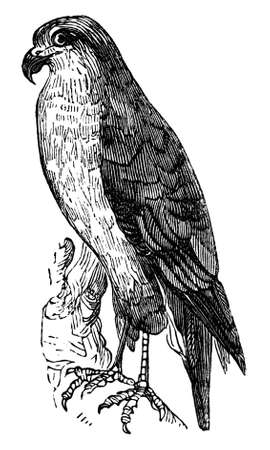 goshawk: 19th century engraving of a goshawk