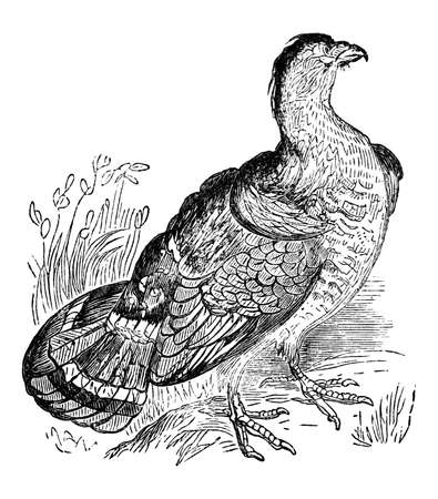 19th century engraving of a grouse