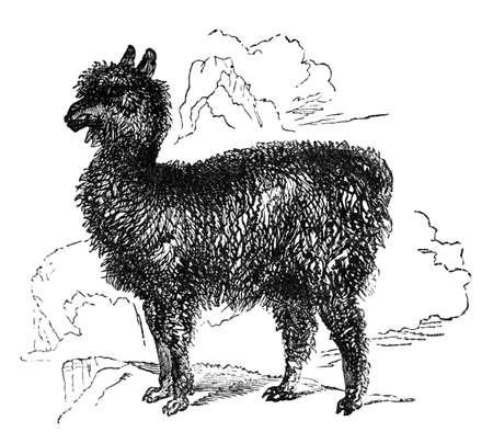 llama: 19th century engraving of a llama