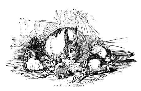 19th: 19th century engraving of a mother rabbit and bunnies