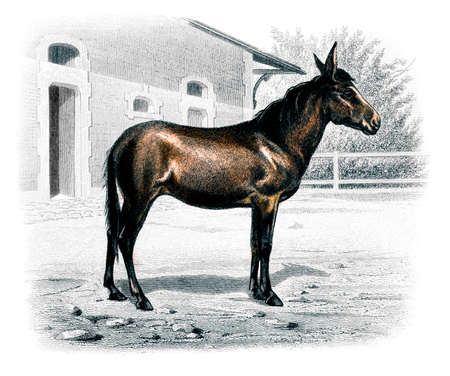 mule: Victorian engraving of a mule. Digitally restored image from a mid-19th century Encyclopaedia.