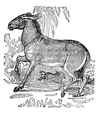 restored: Victorian engraving of a wild ass. Digitally restored image from a mid-19th century Encyclopaedia.