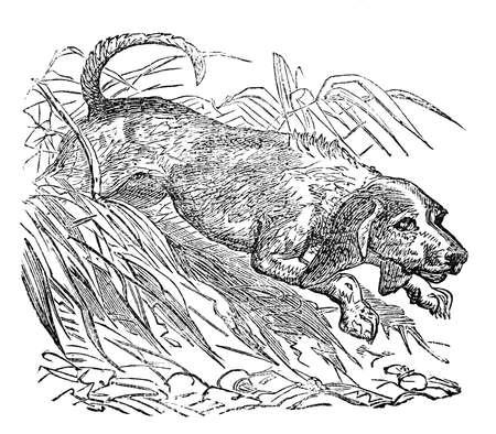 Victoriaanse gravure van een beagle. beeld digitaal hersteld van een midden van de 19e eeuw Encyclopedie.