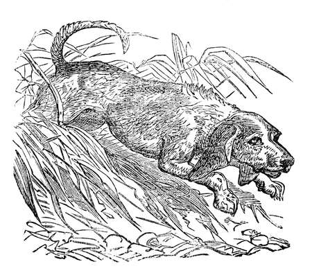 Victorian engraving of a beagle. Digitally restored image from a mid-19th century Encyclopaedia.