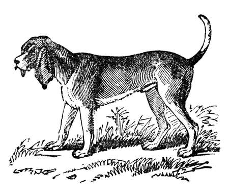 bloodhound: Victorian engraving of a bloodhound. Digitally restored image from a mid-19th century Encyclopaedia. Stock Photo