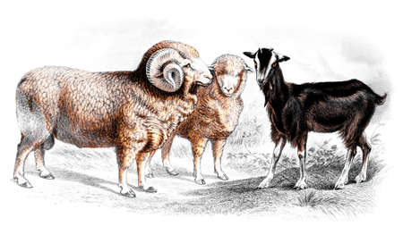 domestic animals: Victorian engraving of sheep and goats. Digitally restored image from a mid-19th century Encyclopaedia.