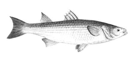 Victorian engraving of a grey mullet. Digitally restored image from a mid-19th century Encyclopaedia.