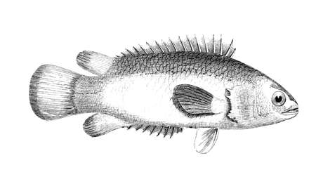 Victorian engraving of a climbing perch. Digitally restored image from a mid-19th century Encyclopaedia.