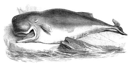 19th century engraving of a sperm whale
