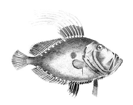 도리 물고기의 19 세기 조각