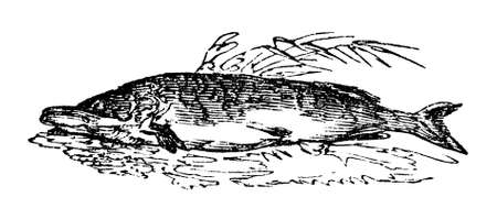 19th century engraving of a pike fish, photographed from a book  titled